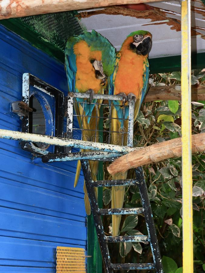 Blue and Gold Macaws in Tropical Setting stock photography