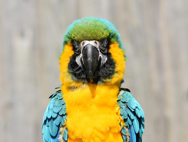 Blue and Gold / Yellow Macaw Parrot Close Up. A close up photograph of a beautiful exotic blue and gold macaw parrot royalty free stock images