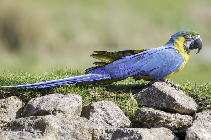 Blue and gold yellow macaw parrot in profile on rocks royalty free stock image