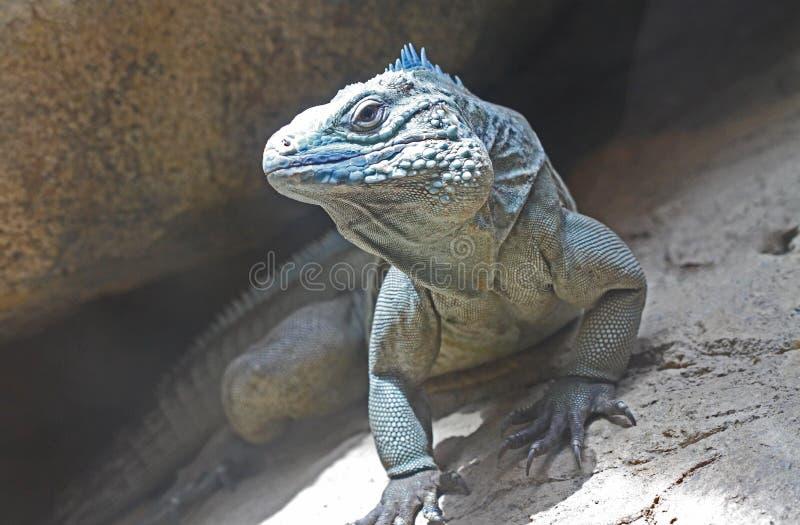 Blue Grand Cayman Iguana stock photography