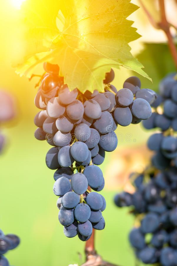 Blue grape cluster against sunlight closeup view stock photos