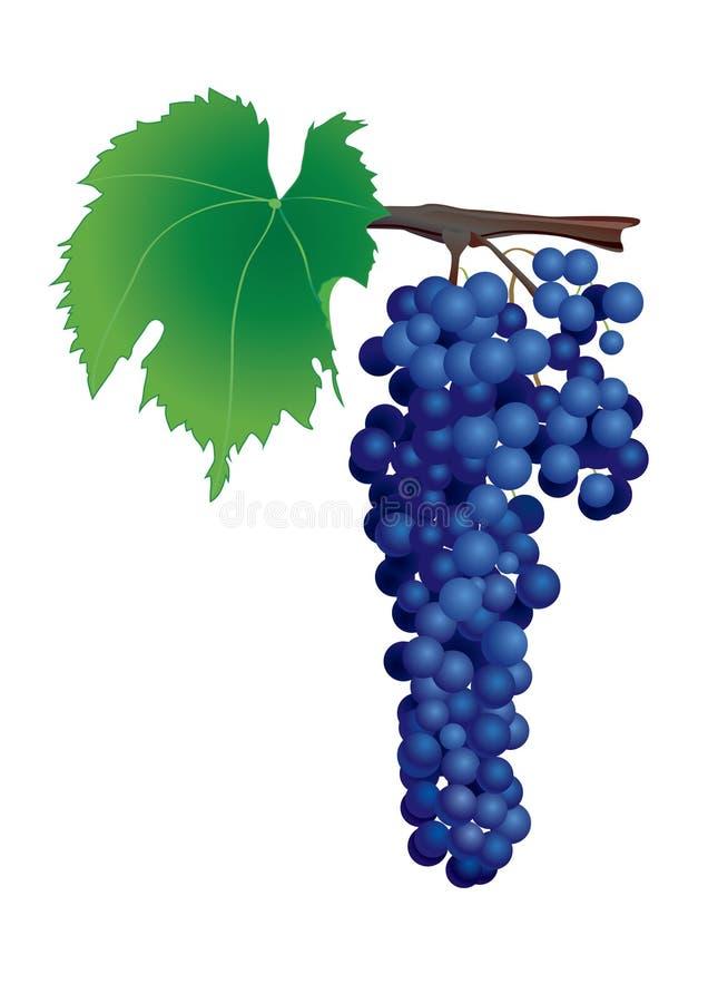 Download Blue grape stock vector. Image of vektor, food, wine - 32936872