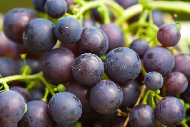 Blue grapes stock image