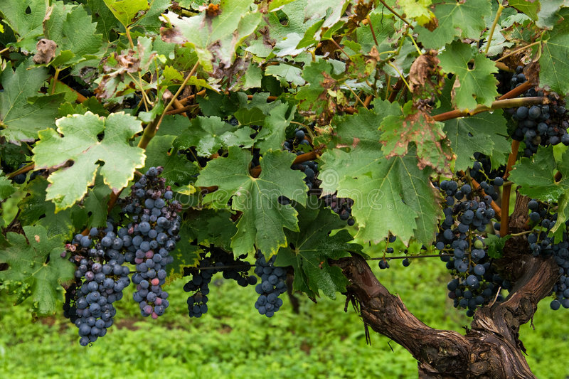 Blue Grapes Stock Photography