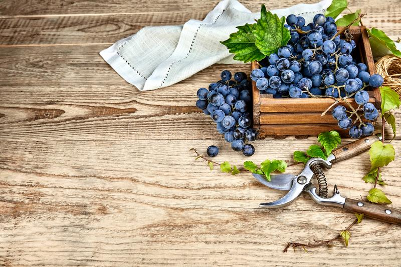 Blue grapes in box with willow green royalty free stock photos