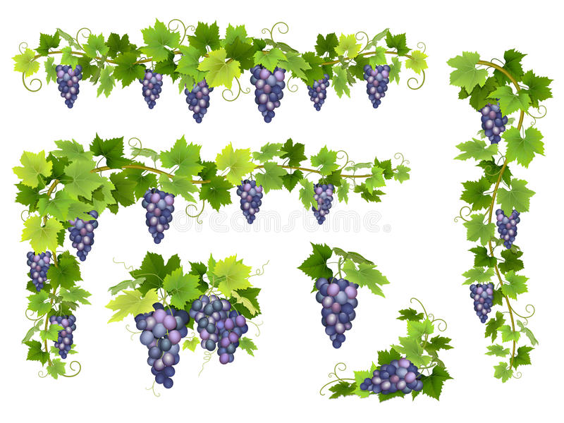 Blue grapes bunch set stock photos