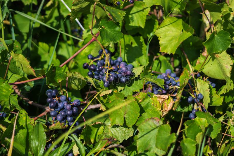 Blue grapes closeup on green background of grape leaves, summer Sunny day royalty free stock photos
