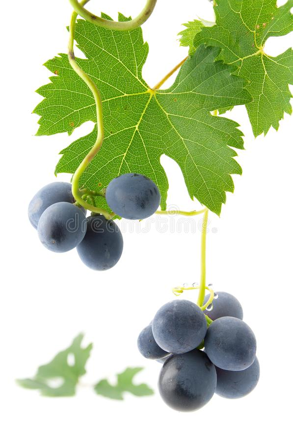 Blue grapes with green leaves stock photos