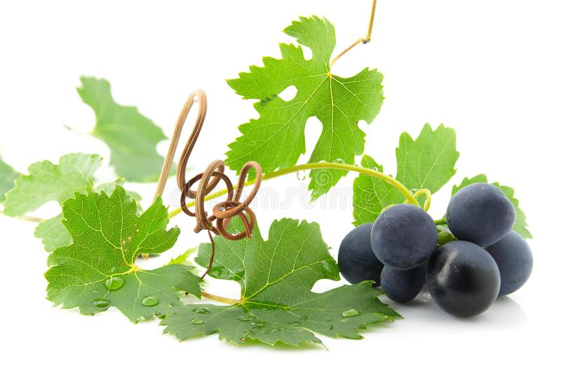 Blue grapes with green leaves royalty free stock photography
