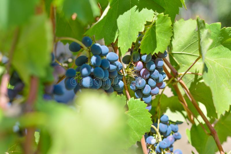 Blue grapes on plantations in the wine industry and the agricultural industry. Growing wine grapes royalty free stock photo