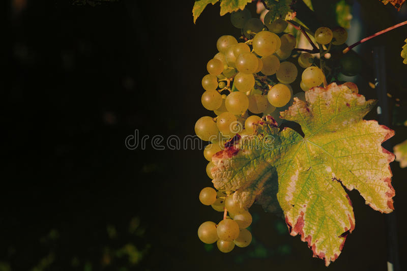 Yellow Grapes. A single bunch of yellow grapes stock photos