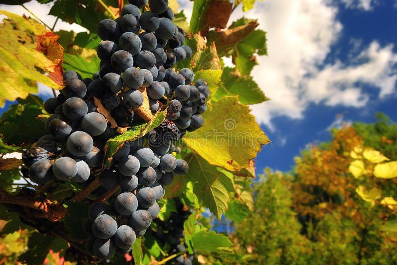 Blue grapes in the vineyard stock photography