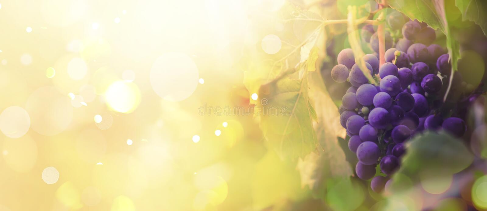 Blue grapes on the vine, wine variety in the vineyard, autumn natural background, banner, copy space, selective focus. Blue grapes on the vine, wine variety in royalty free stock images