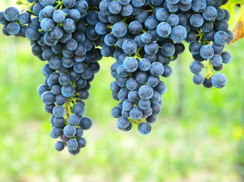 Blue grapes on a vineseasonal food concept. Vineyards at sunset in autumn harvest. Ripe grapes in fall. Grape harvest. Grapes in a royalty free stock images