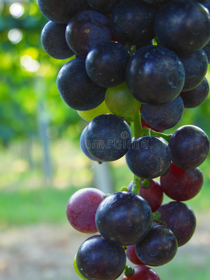 Download Blue grapes in vineyard stock image. Image of agricultural - 14455509