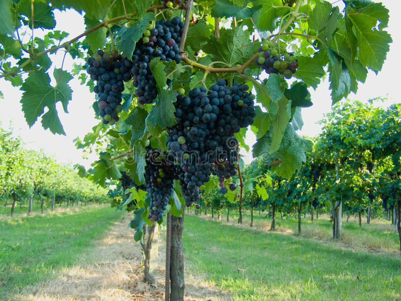 Download Blue grapes vineyard stock image. Image of grapes, fertile - 14669829