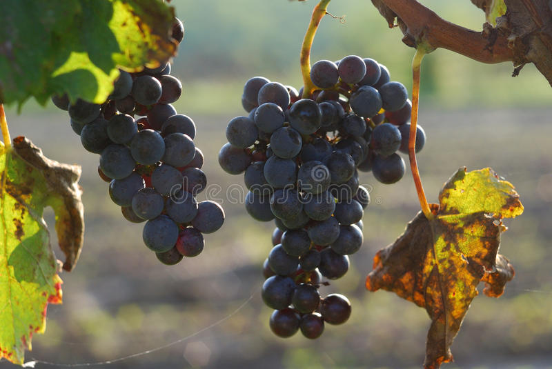 Blue grapes in the vineyard royalty free stock photo