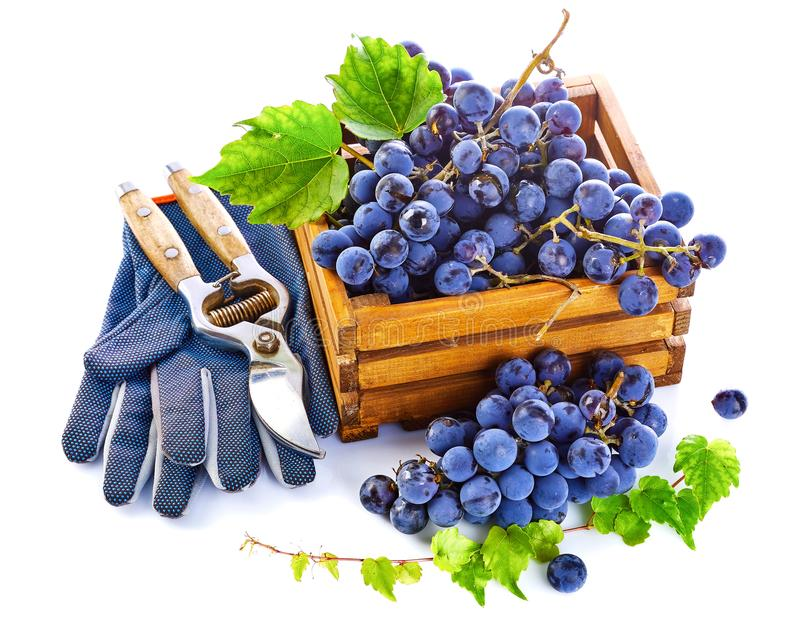 Blue grapes in wooden box vine pruner. stock photo
