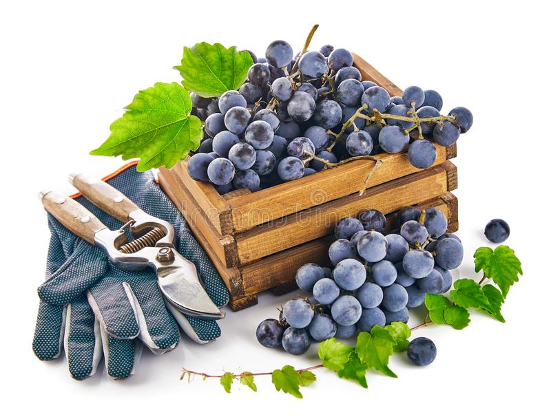 Blue grapes in wooden box with vine pruner still life glove green leaf, on white background. royalty free stock photography