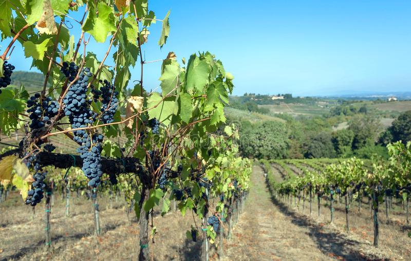 Blue grapevine in wineyard. Colorful vineyard landscape in Italy. Vineyard rows at Tuscany in autumn harvest time royalty free stock image