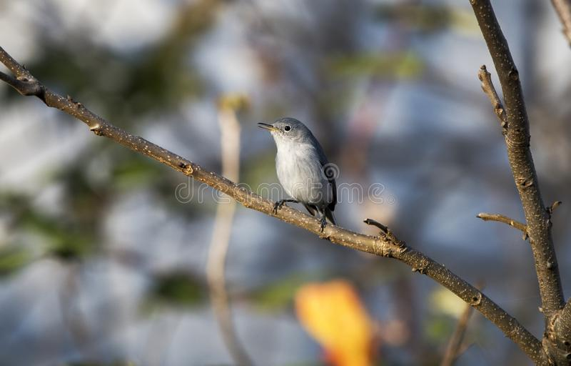 Blue Gray Gnatcatcher bird, Georgia royalty free stock image
