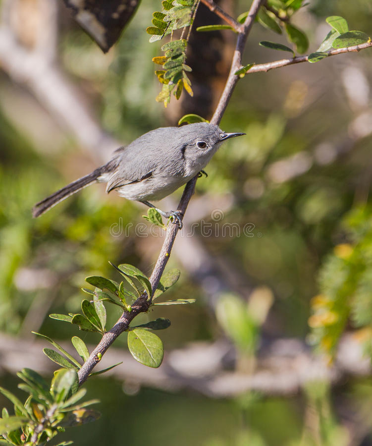 Download Blue-Gray Gnatcatcher On A Branch Stock Image - Image: 39400179