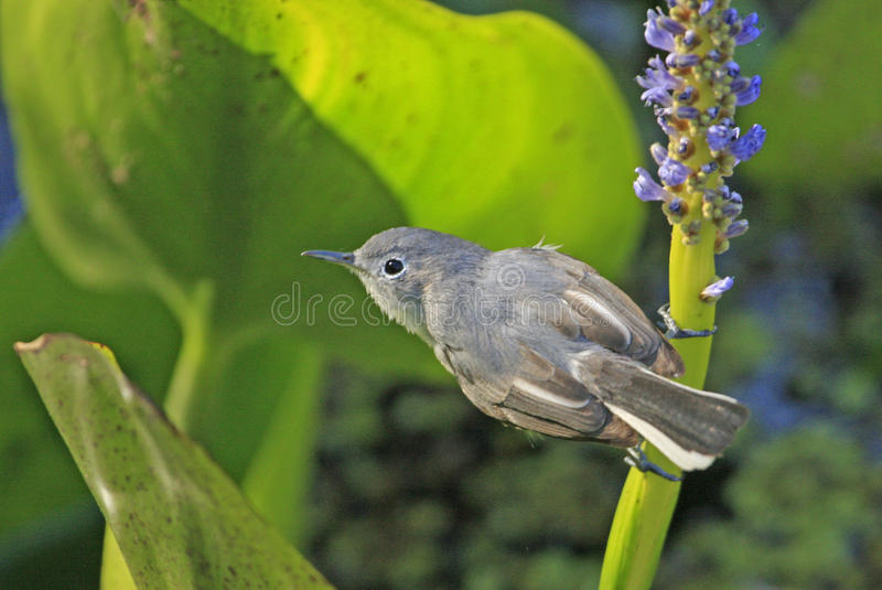 Download Blue-gray Gnatcather (Polioptila Caerulea) Stock Photo - Image: 28402056