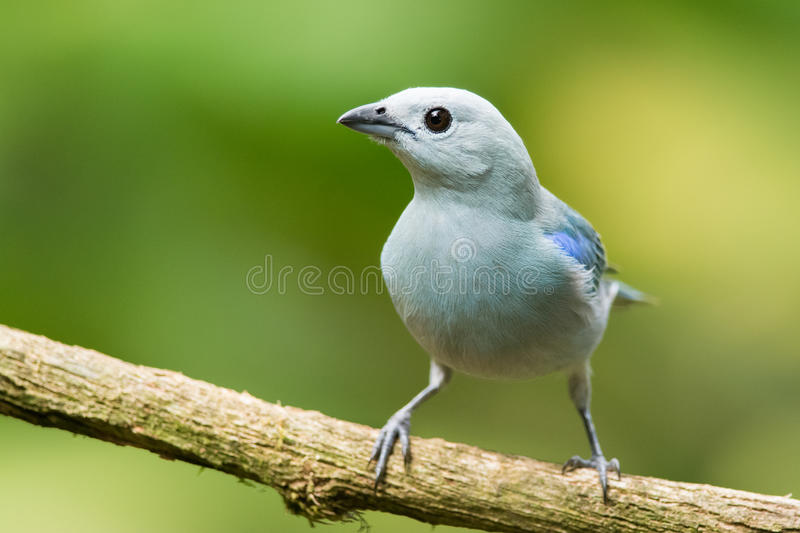 Blue-gray tanager royalty free stock photo
