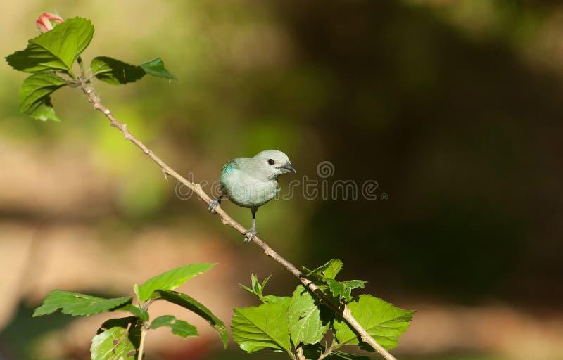 Blue-gray tanager, Thraupis episcopus stock photos