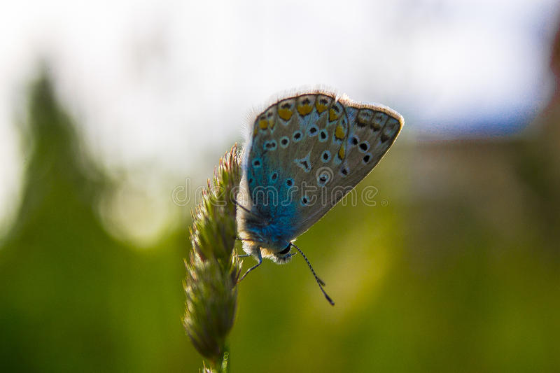 Blue and Green Butterfly stock photos