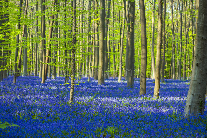 Blue and green / colorful bluebells forest royalty free stock photo