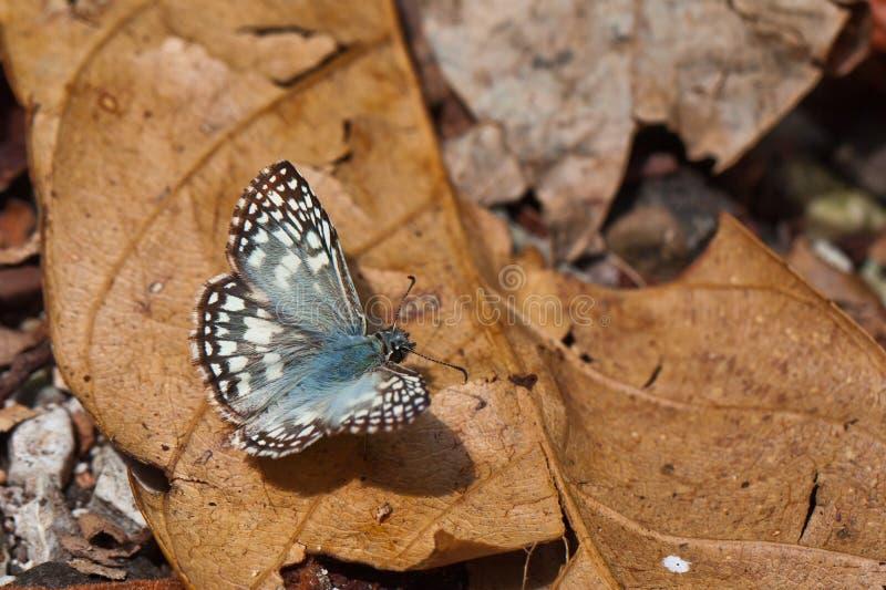 Blue green hairy moth in Panama. royalty free stock photos