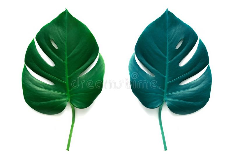 Blue and green leaf of Monstera isolate on white background. Top view, flat lay stock photography