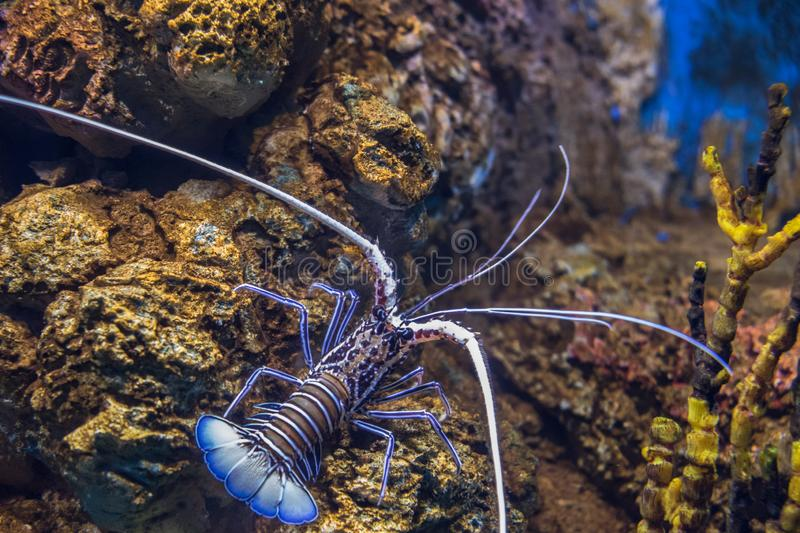 Blue - Green lobster, Painted spiny lobster stock photos