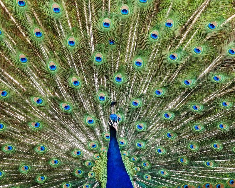 Blue and Green Peacock royalty free stock images