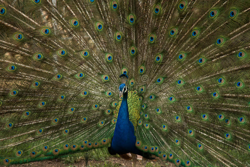 Blue And Green Peacock Free Public Domain Cc0 Image