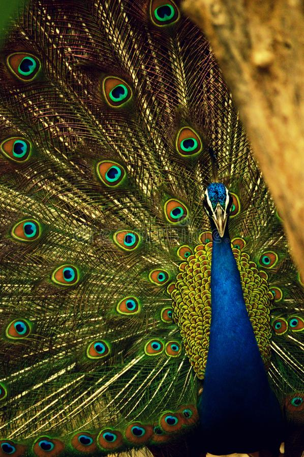 Blue and Green Peafowl royalty free stock photography