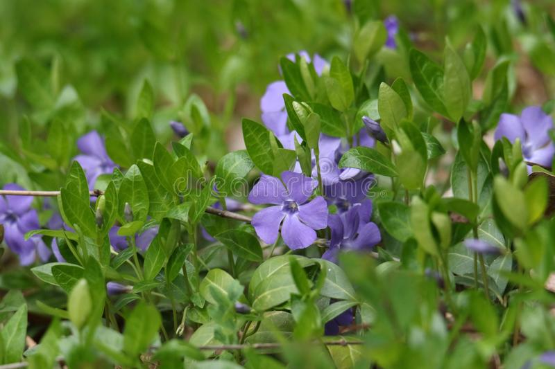 Blue on green. Periwinkle vinca blue green spring myrtle nature forest flower shiny royalty free stock photos