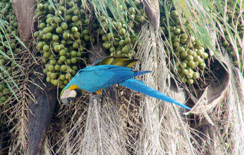 Blue, green and yellow feathers ara parrot eating coconut. Blue, green and yellow feathers big parrots. Ara parrot in tropics. Blue, green and yellow feathers stock image