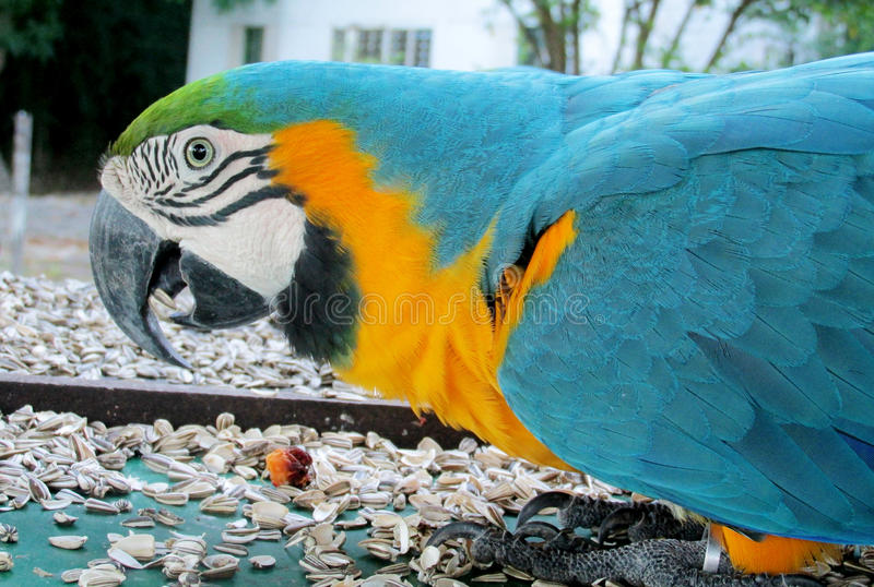 Blue, green and yellow feathers big parrot. S. Ara parrot in tropics royalty free stock photo