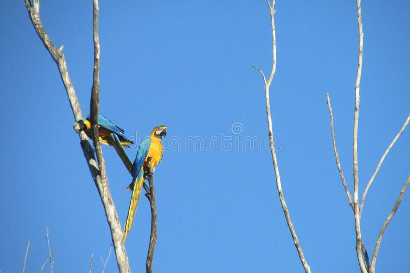 Blue, green and yellow feathers big parrots. Ara parrot in tropics. Blue, green and yellow feathers big parrot eating coconut on the palm tree royalty free stock image