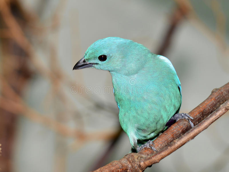 Blue Grey Tanager Royalty Free Stock Images
