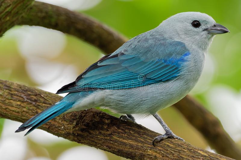 Blue-grey Tanager - Tangara episcopus medium-sized South American songbird of the tanager family, Thraupidae stock photography
