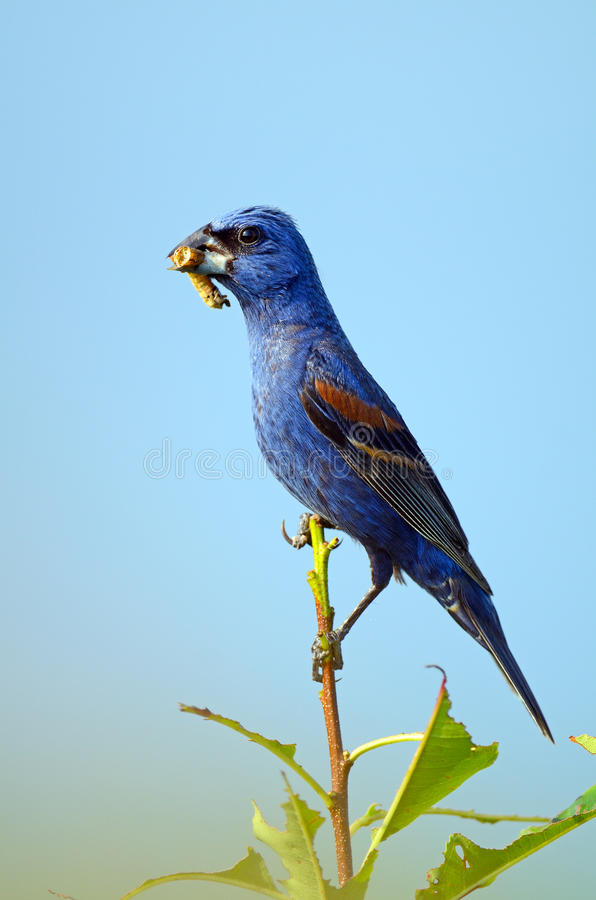 Blue Grosbeak. A young Blue Grosbeak perched on a branch with a bug in it's mouth royalty free stock photography