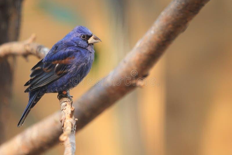 Blue grosbeak. Sitting on the branch royalty free stock photo