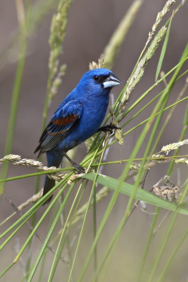 Blue Grosbeak in Habitat. Perching Blue Grosbeak in habitat stock image