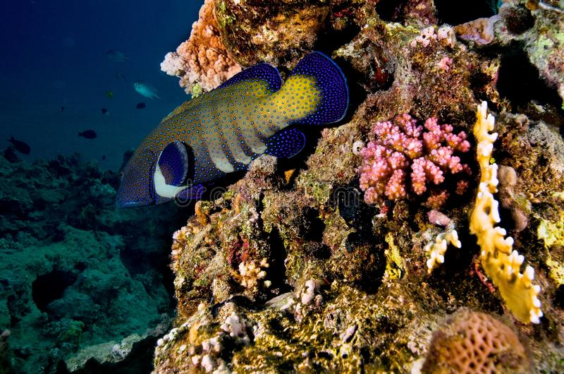 Blue grouper fish with colored corals stock photo