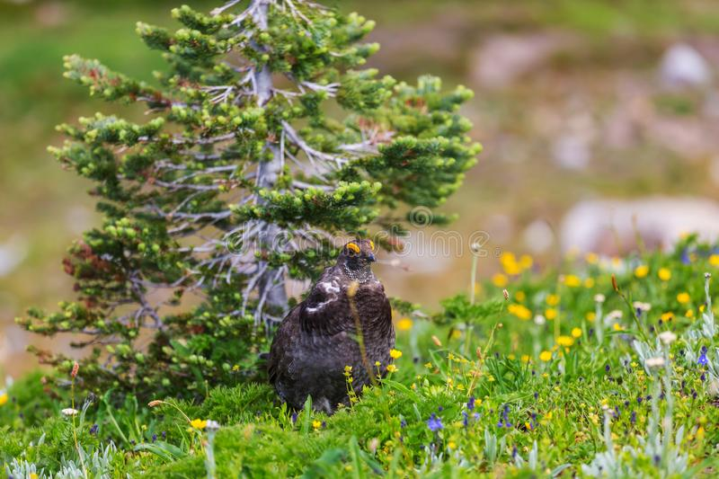 Blue Grouse royalty free stock images
