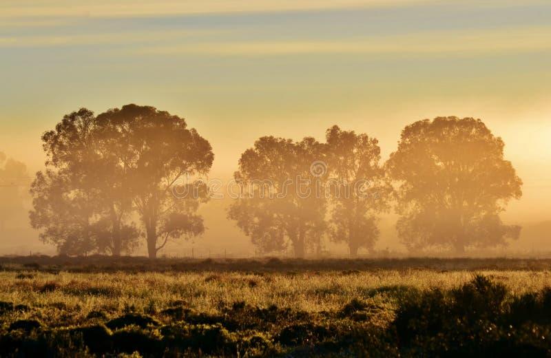 Download Blue gum trees stock image. Image of west, sunrise, background - 25992457