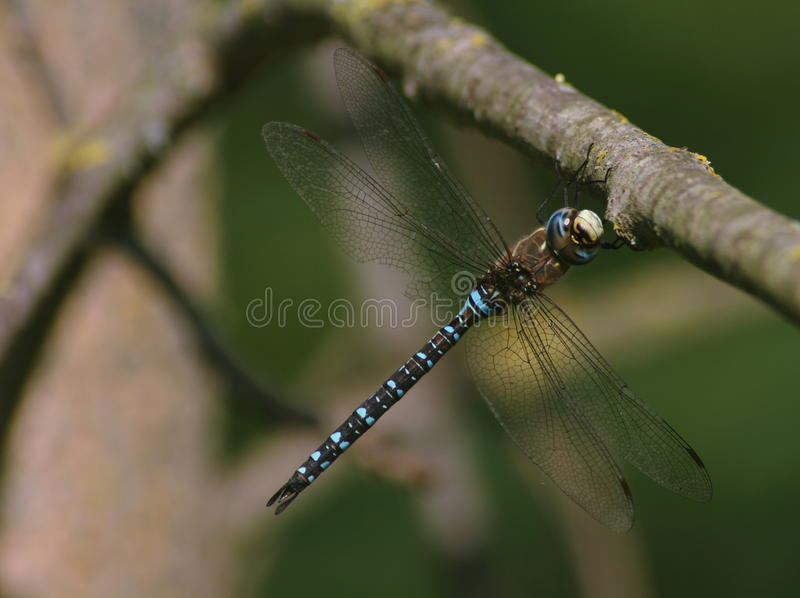 Blue Hawker Dragonfly royalty free stock images